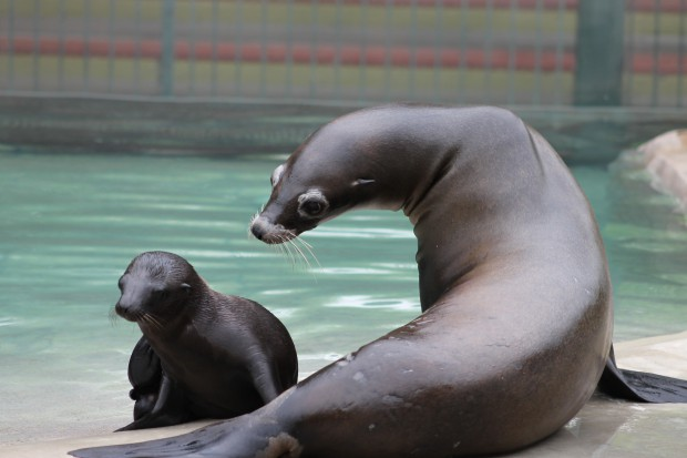 Six Flags Great Adventure Celebrates Birth of Two Sea Lion Pups
